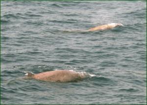 zifi balene