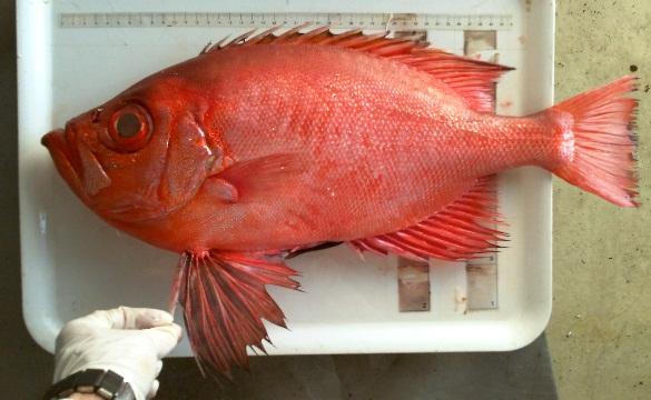 un pesce tropicale inedito nelle acque di civitavecchia