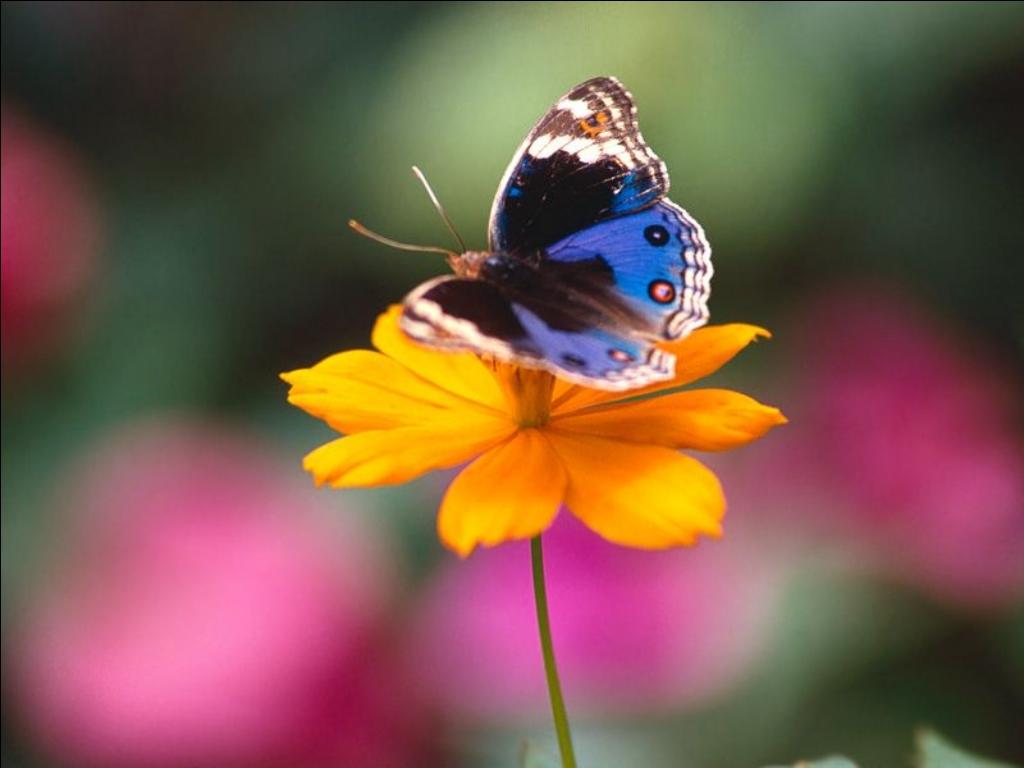 Farfalla su fiore stupendi centumcellae news for Immagini farfalle per desktop