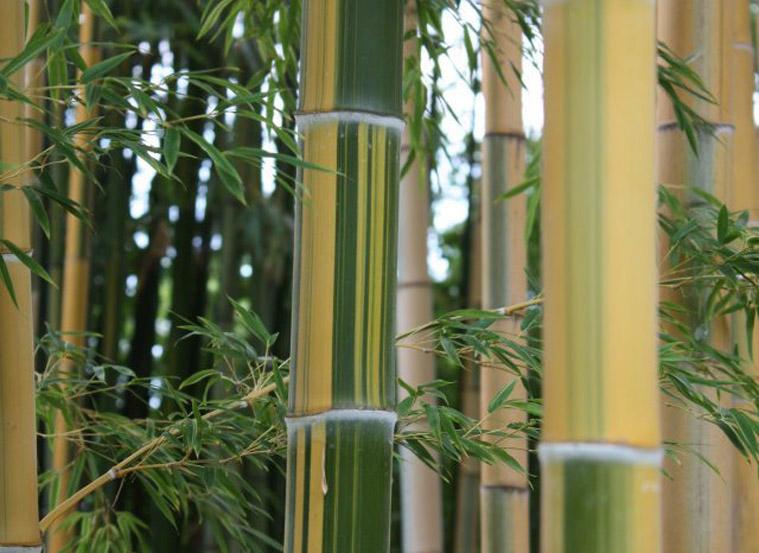 Come coltivare i bamb nel proprio giardino for Arredo giardino anguillara